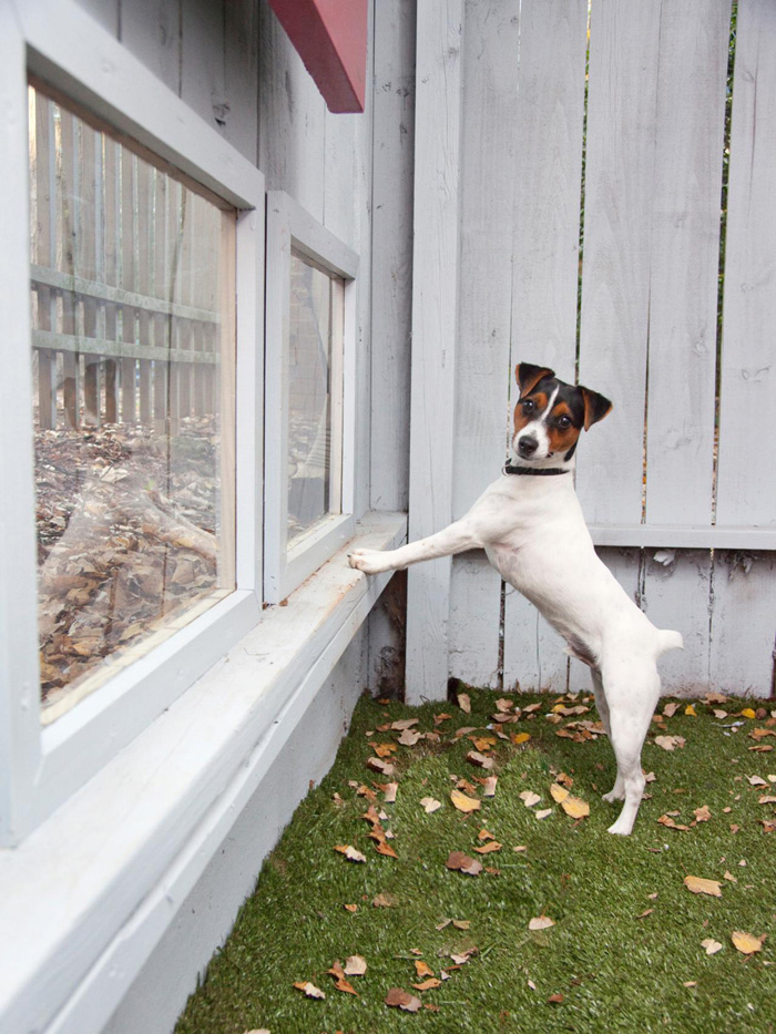 Great-ideas-for-indoor-and-outdoor-pet-houses-Jack-Russell-Dog