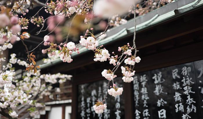 japanese-cherry-blossom-tree---sakura-japanese-cherry-blossom-tree-spring-break-vacation-deals-spring-break-family-vacations-spring-travel-spring-break-trips