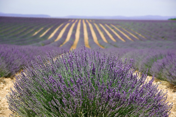 spring-break-family-vacations-sights---lavender-field-in-provance-purple-lavender