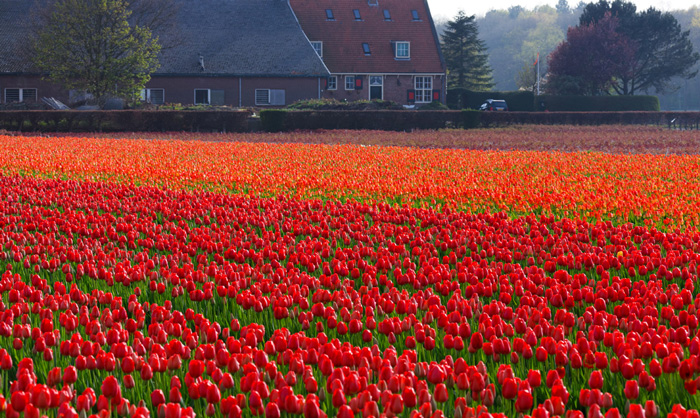 spring-travel-keukenhof-gardens-tulip-fields-red-tulips-beautiful-tulips-red-flowers