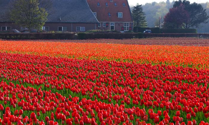 spring-travel-keukenhof-gardens-tulip-fields-red-tulips-beautiful-tulips-red-flowers