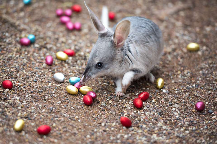 Easter-Bilby-easter-traditions-around-the-world