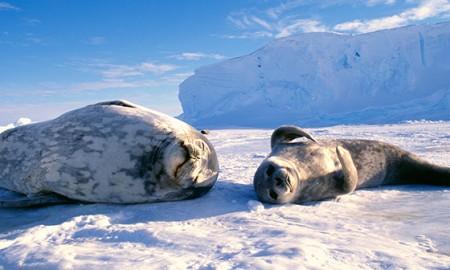 Happy-Seals-in-Antarctica