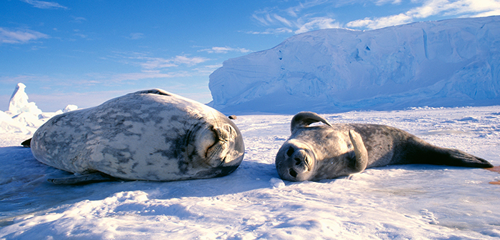 Happy-Seals-in-Antarctica