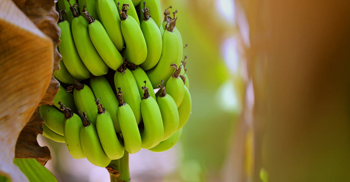 Natural-Energy-Food-Bananas-on-Tree