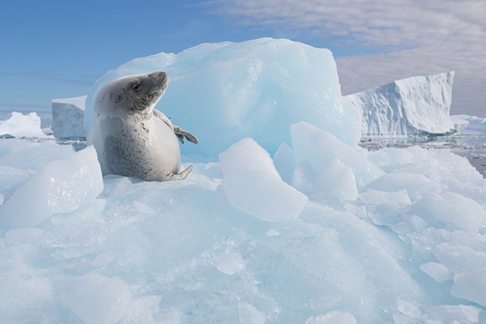 Seal-in-antarctica