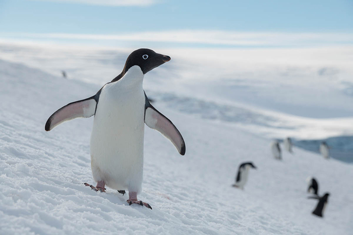 Sweet-Penguin-in-Antarctica