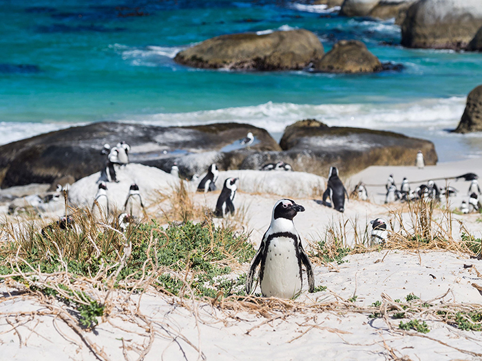 Cape-Town-Beaches-Penguins