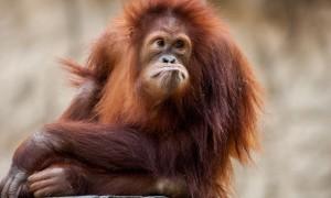 Sad Orangutan in the zoo