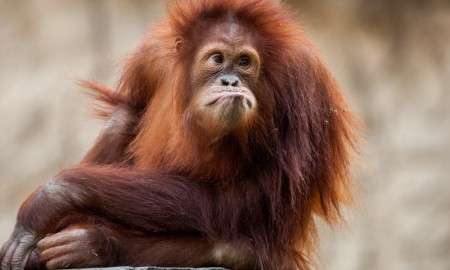 Sad Orangutan in the zoo
