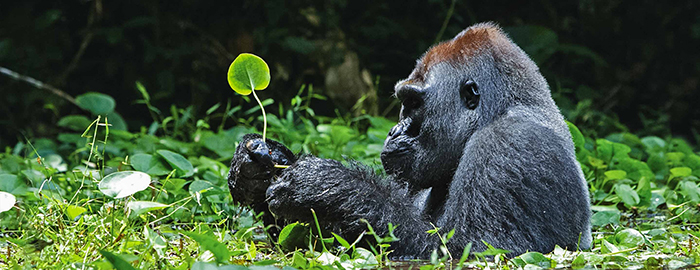 Gorillas-rarest-animal-in-the-world