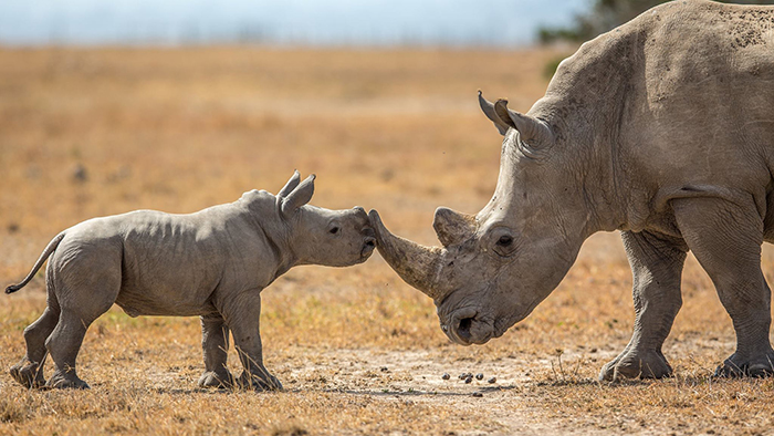 Rhinos-critically-endangered-rare-species