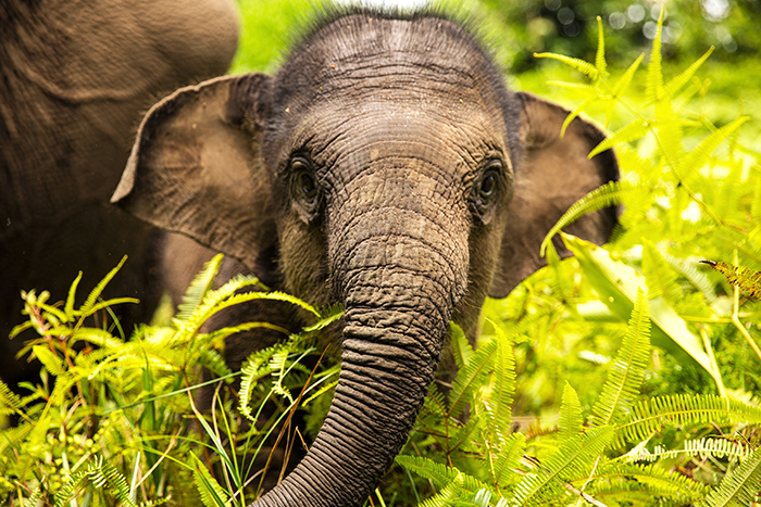 Sumatran-Elephant-critically-endangered-rare-species