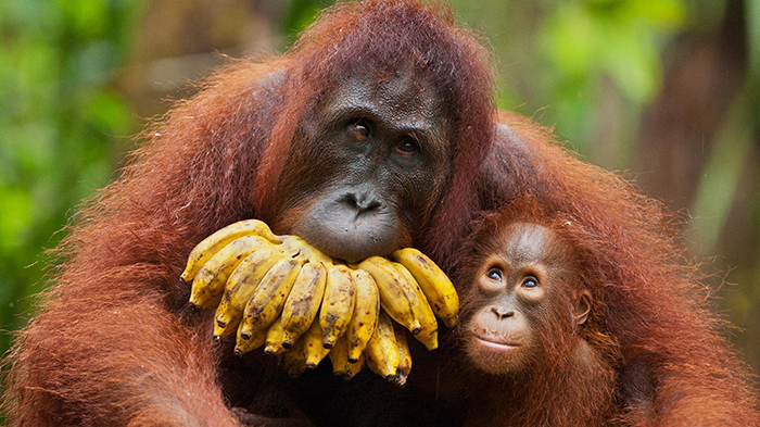 critically-endangered-rare-species-Orangutans