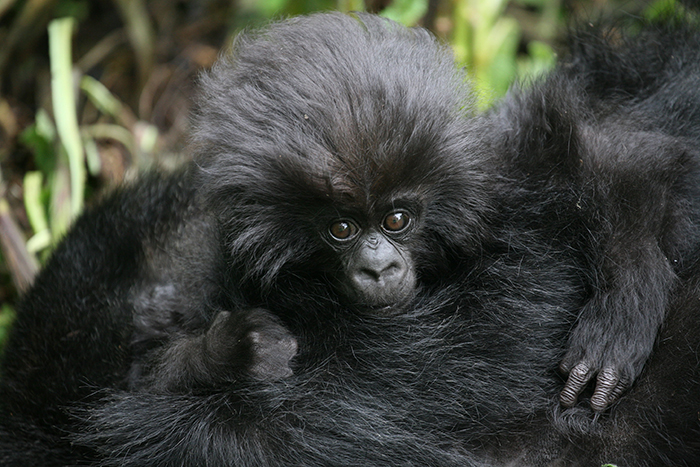 vulnerable-animals-list-Gorillas