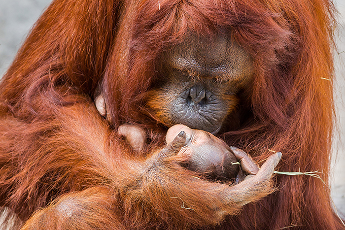 vulnerable-animals-list-Orangutan-Baby