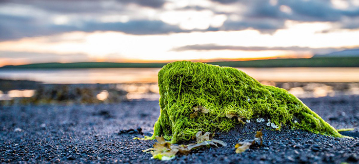Algae on a beach rock