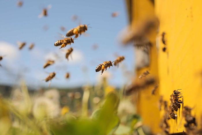 Honey Bees entering their house