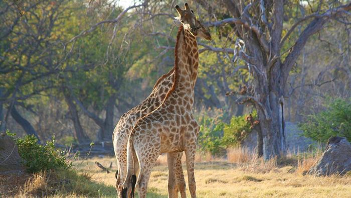 Two loving giraffes
