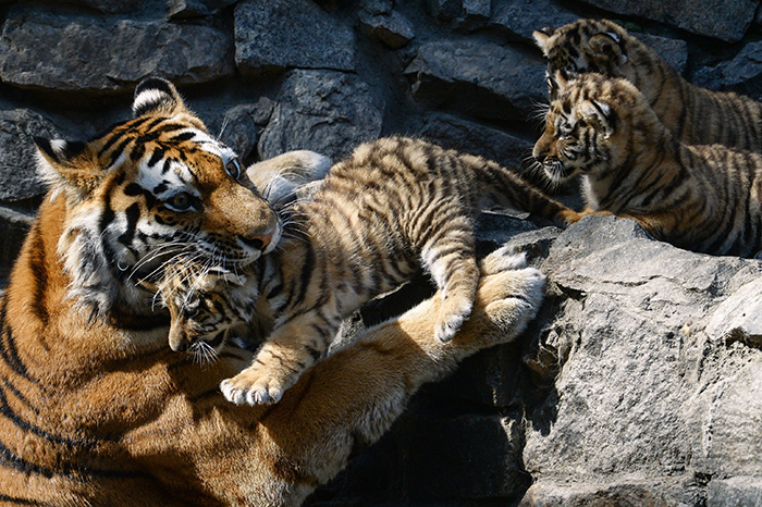 Tiger mother carrying her babies in her mouth