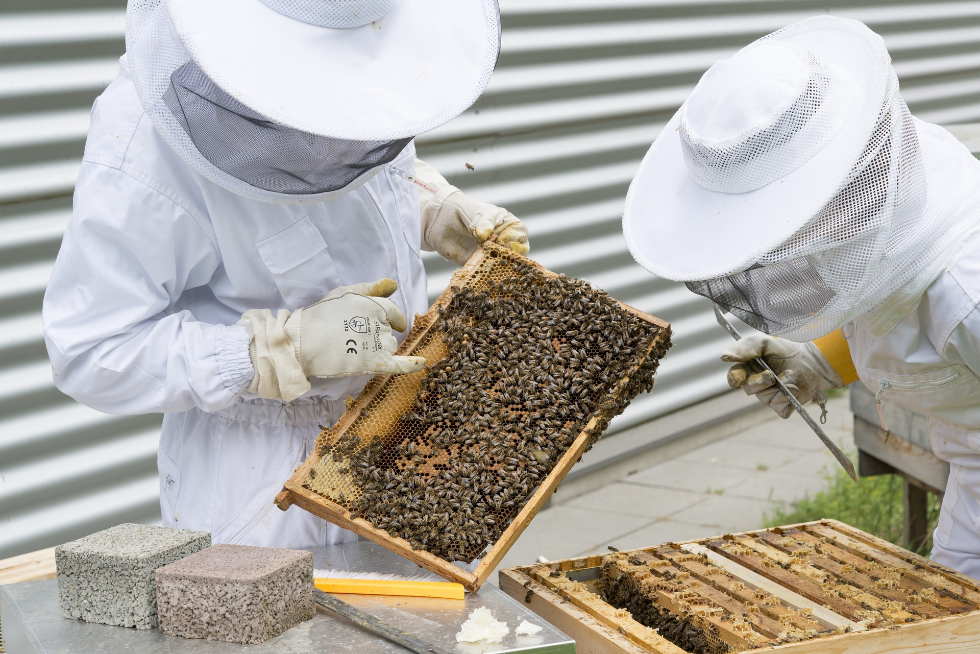 Beekeepers touching honey bees