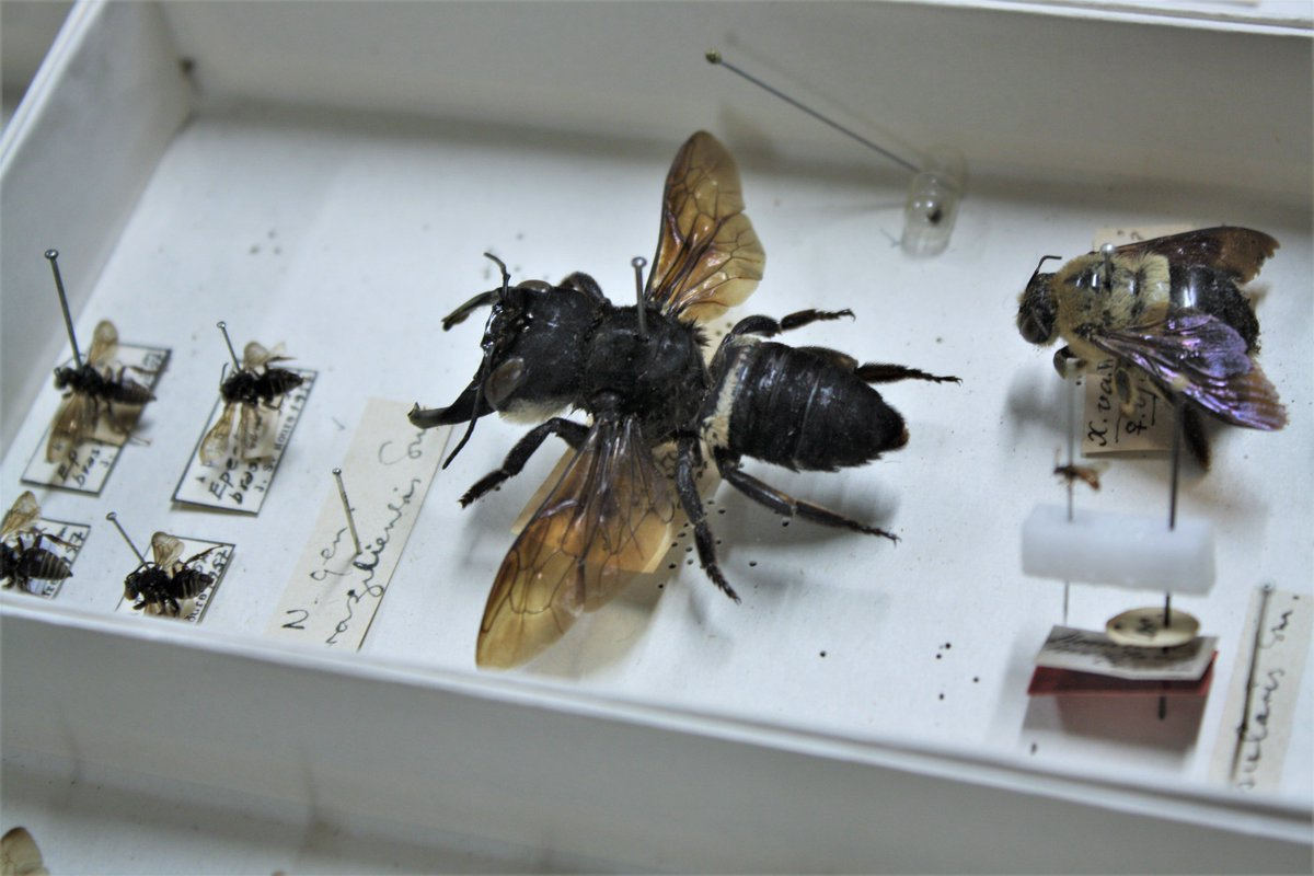 Megachile pluto bee in museum next to smaller bees