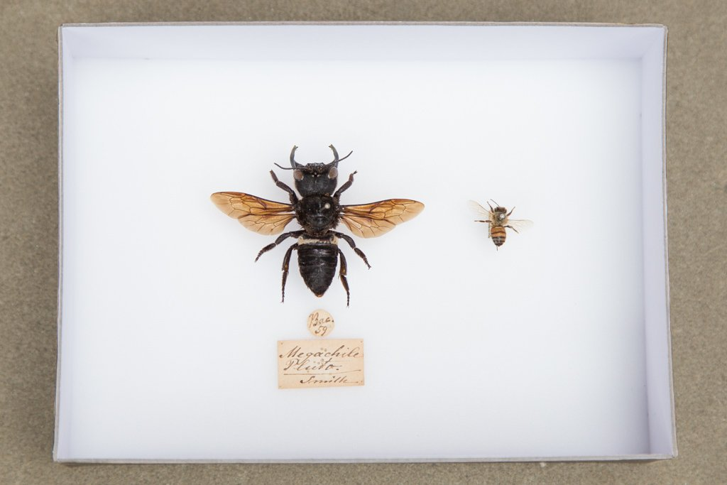 Megachile pluto compared to normal bee