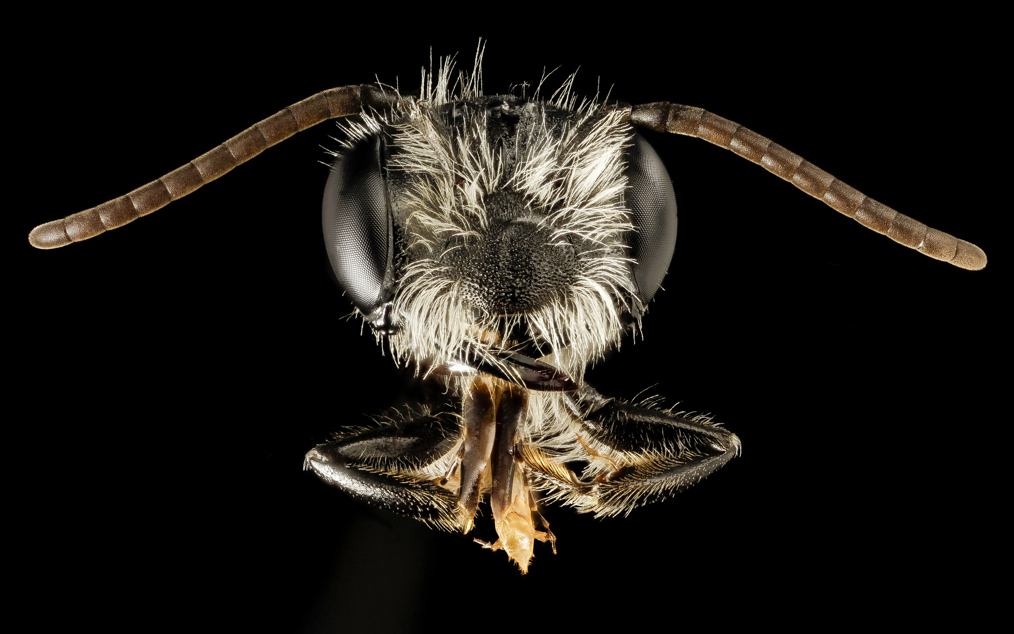 Megachile pluto bee head