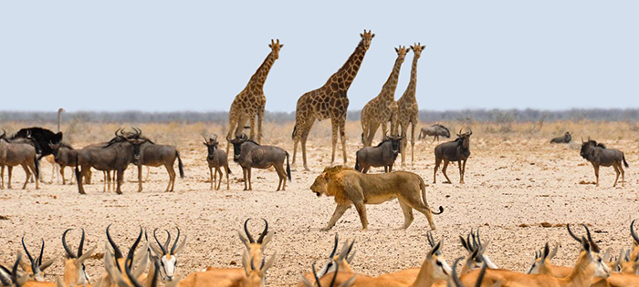 Lion and other animals in the most famous national park in Namibia