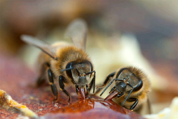 Bees eating honey to stay alive