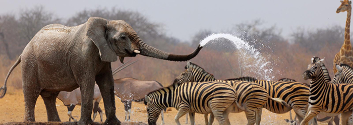 Elephants and zebra in Namibia's national park
