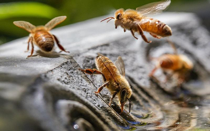 Thirsty bees searching for water