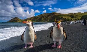 King penguins walking on the beach in Macquarie Island - Australia