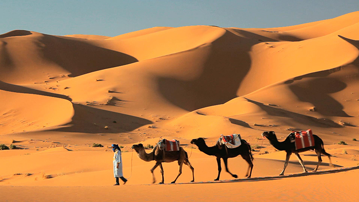 A man walking with three camels through a desert