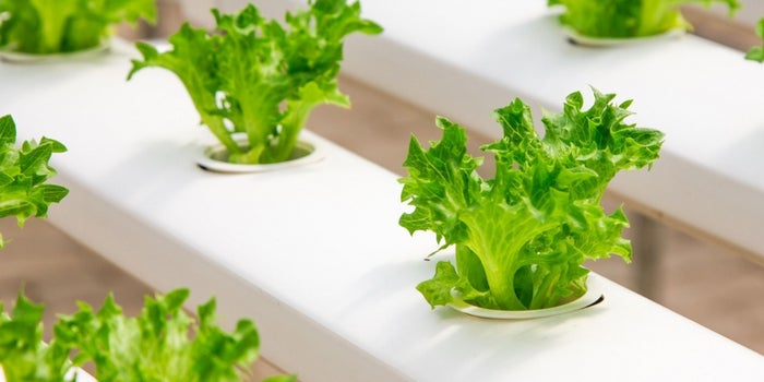 greenhouse technology lettuce