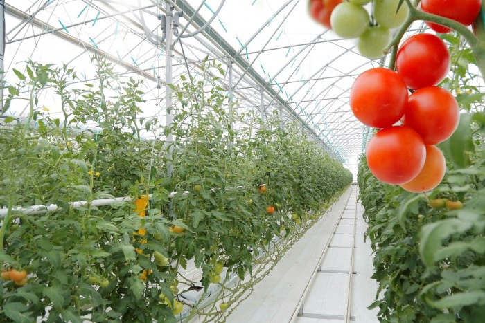 cherry tomato in a greenhouse