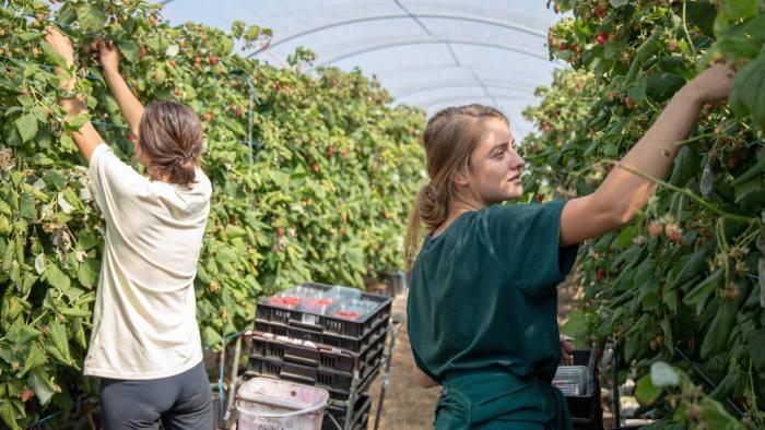 women picking fruits