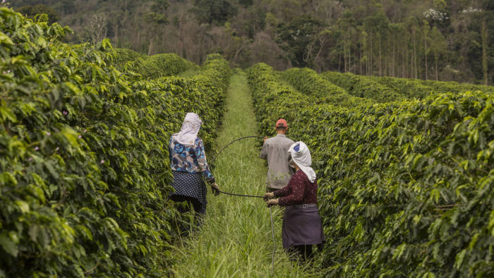 people walking among coffee trees