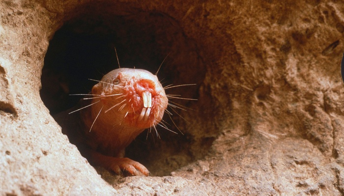 mole rat in his hole