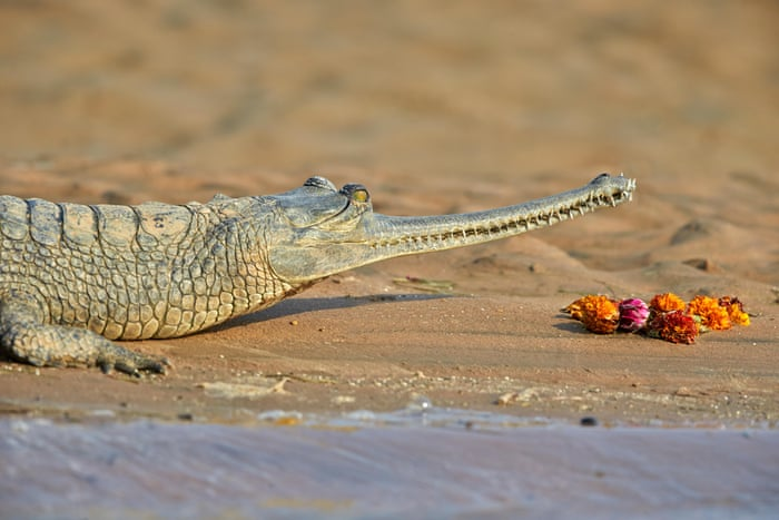 gharial crocodile on river shore
