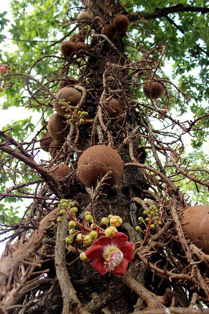 Brazil nuts tree with giant fruits from below