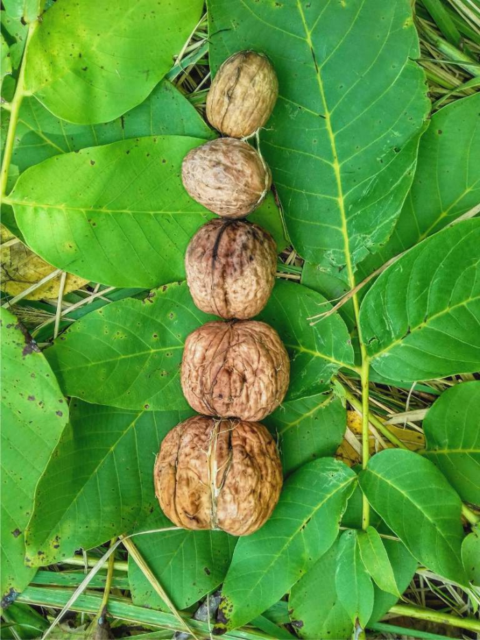 Different size walnuts photographed on leaf from above