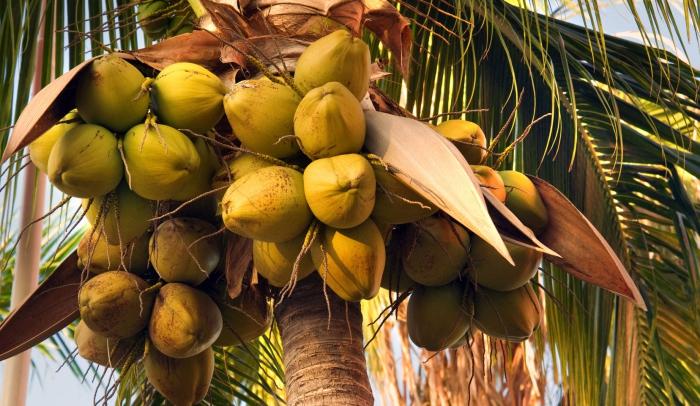 coconut tree full of coconut fruits