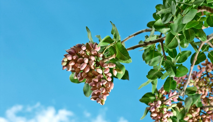 branch of pistachio tree photographed from below