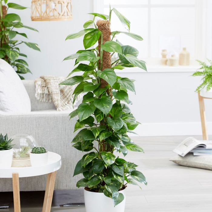 Devil's Ivy tall indoor plant in a living room interior