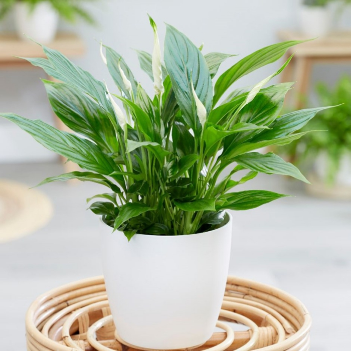 peace lily in a white pot in a home interior