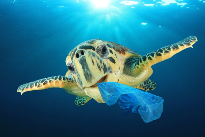 marine turtle swimming in the ocean with a blue plastic bag in the mouth