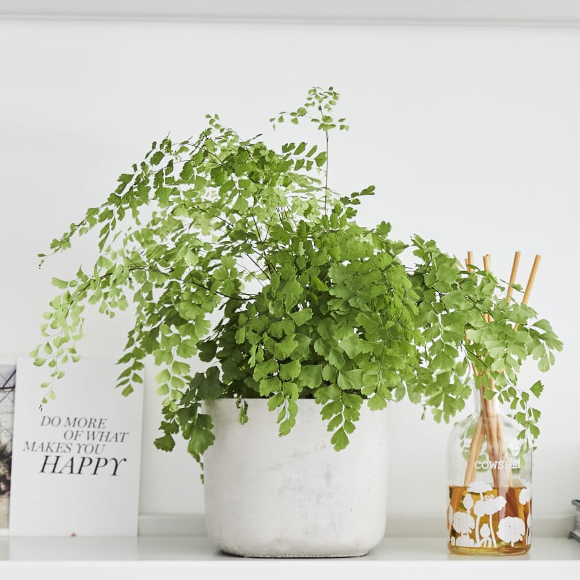 Maidenhair Fern on a white background on a shelf