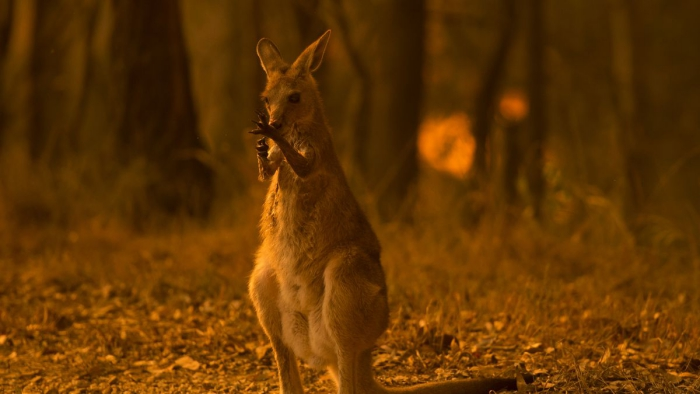 Kangaroo in the forest fires in australia field forest bush wildlife