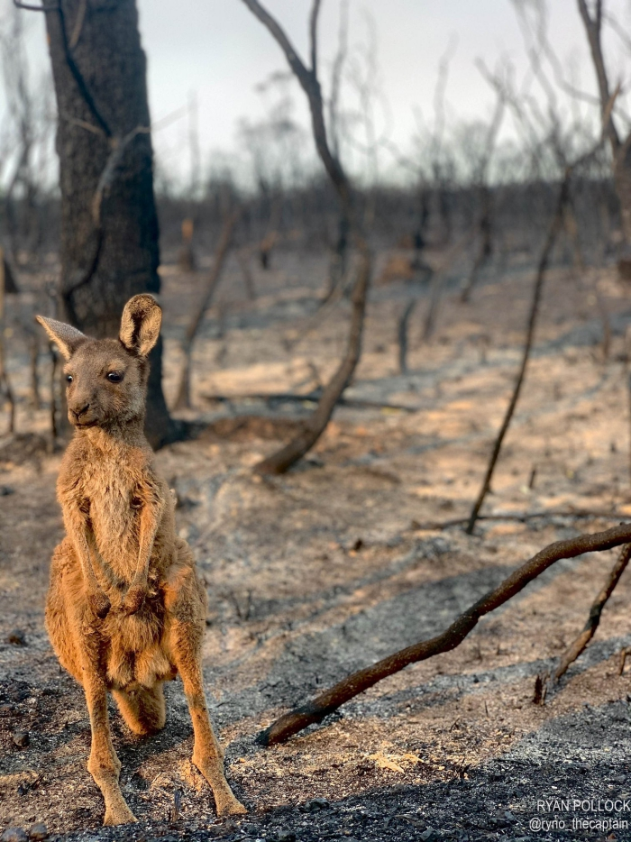 Australia wildlife after the fires burned forest lonely kangaroo